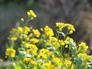 千葉菜の花2014年