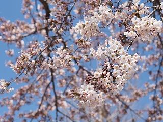 桜2014年4月の1