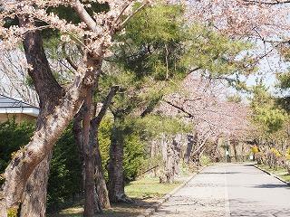 桜2014年4月の2