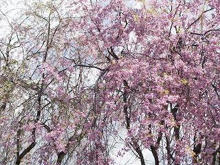 枝垂桜2014年5月
