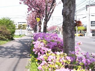 八重桜とつつじ2014年5月の2