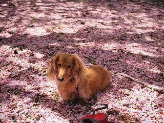 ピンクの絨毯2014年5月の2