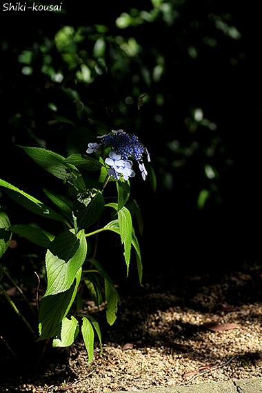 紫陽花・木漏れ日