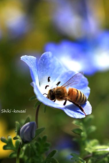 ミツバチ&ネモフィラ