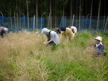 菜種収穫3