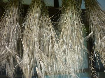 カムット収穫
