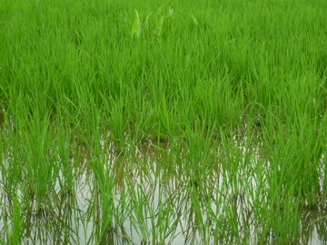 羽間農園の稲