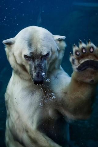 とあるシロクマさんのにらみimage