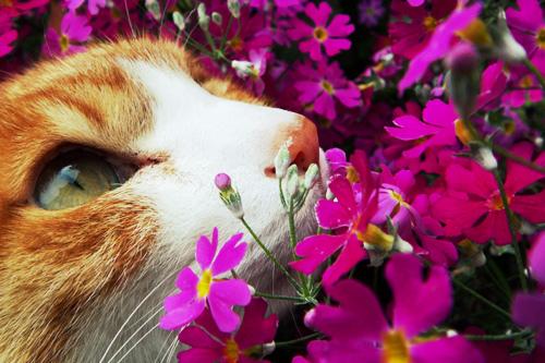 とあるネコと春の花image