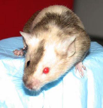 とあるラボラット(キメラマウス)image