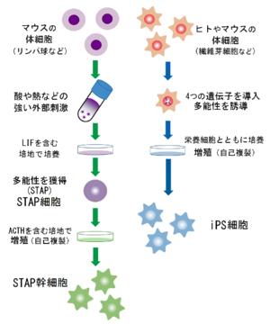 STAP(wikiより)image