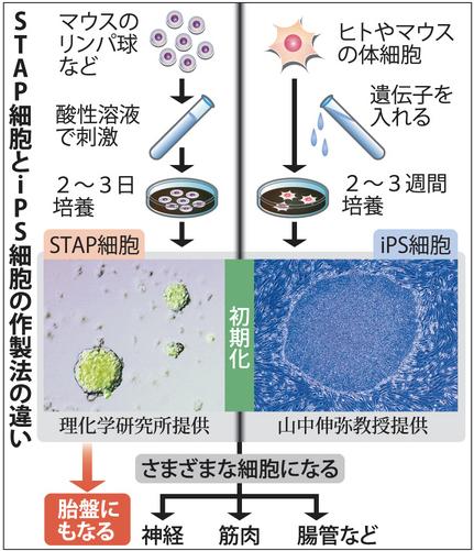 STAP(IPSとの違い)image