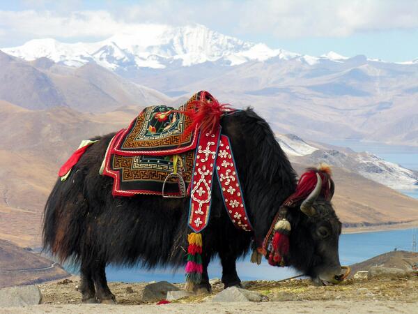中国とチベット(牛さん)imagejpg