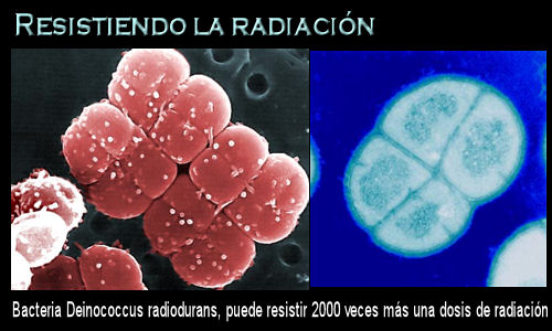 放射能耐性菌(Deinococcusradiodurans)image