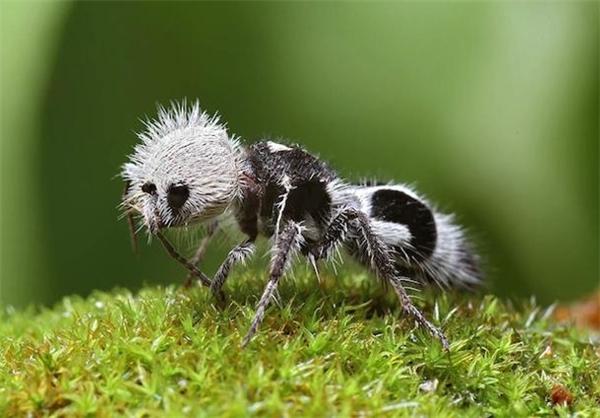 アリさん(蟻さんのような羽のない蜂パンダアンツ)image