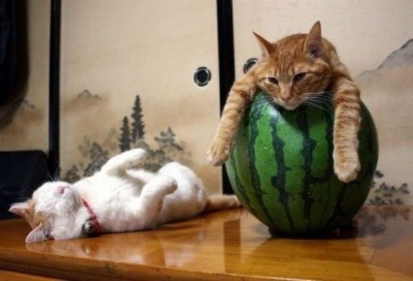 ネコさんとスイカimage