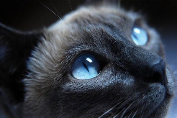 ネコさん(かなり青い眼)image