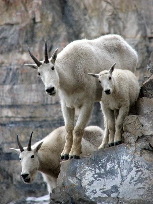 自然と生き物(岩の上のマウンテンゴートさん)image