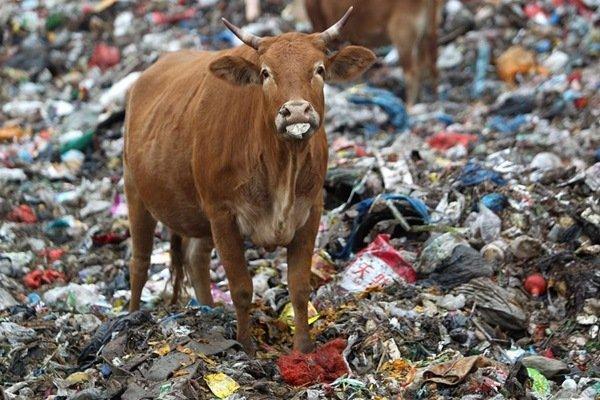 自然と生き物(中国の牛さんの)image