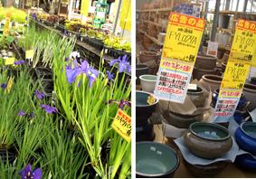 水生植物とスイレン鉢