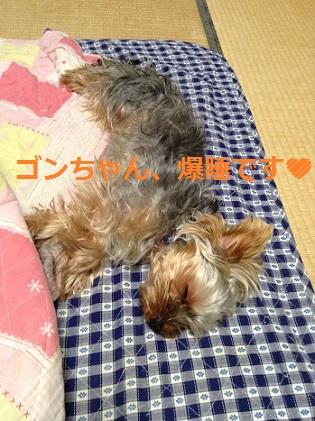 お疲れゴンちゃん、爆睡です^^