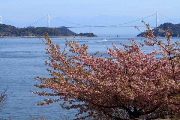 大角海浜公園・河津桜 140312 08