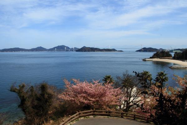 大角海浜公園・河津桜 140312 09