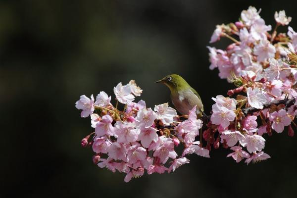サンライズ糸山・河津桜メジロ 140312 003