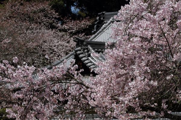 繁多寺・桜 140328 10