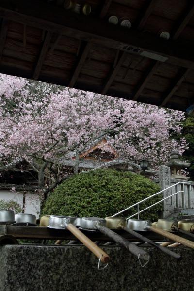 繁多寺&桜・雨 140329 04