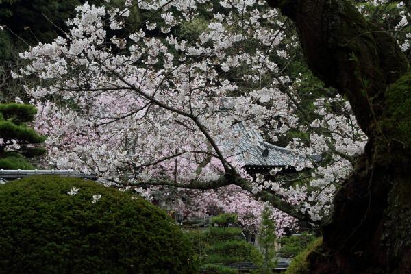 繁多寺&桜・雨 140329 12