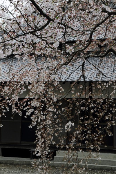 上村・伝宗寺・玉糸桜 140405 03