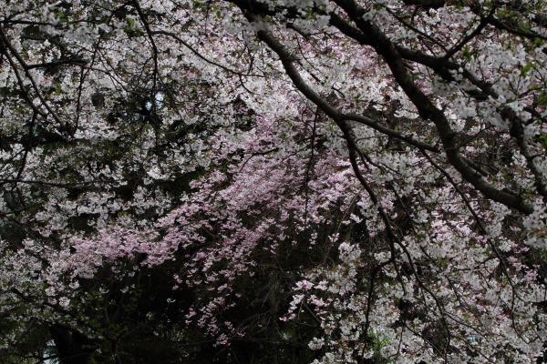 上村・船川神社・桜・雨 140405 01