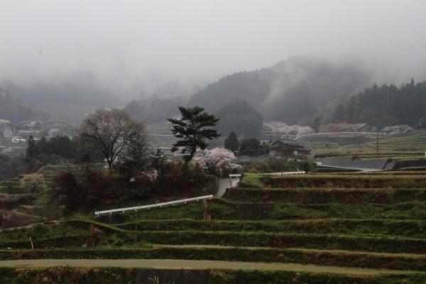 河之内音田・桜・雨 140405 01