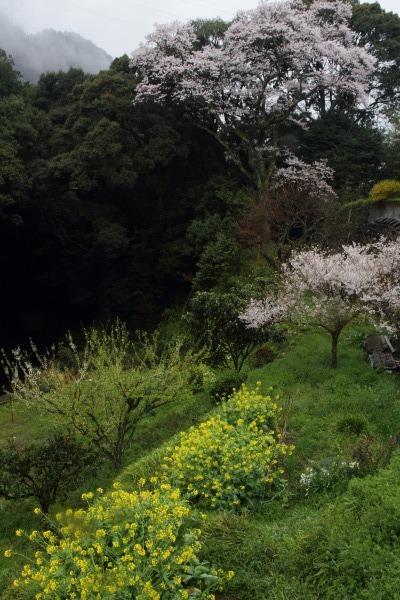 河之内・雨滝桜・雨 140405 04