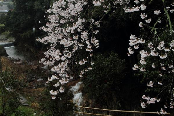 河之内・雨滝桜・雨 140405 02