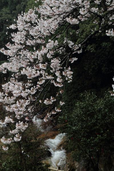 河之内・雨滝桜・雨 140405 01