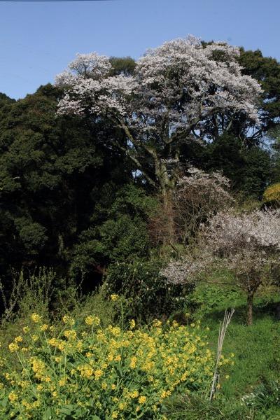 雨滝桜 140407 01