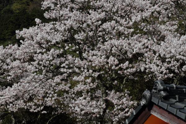 雨滝桜 140407 02