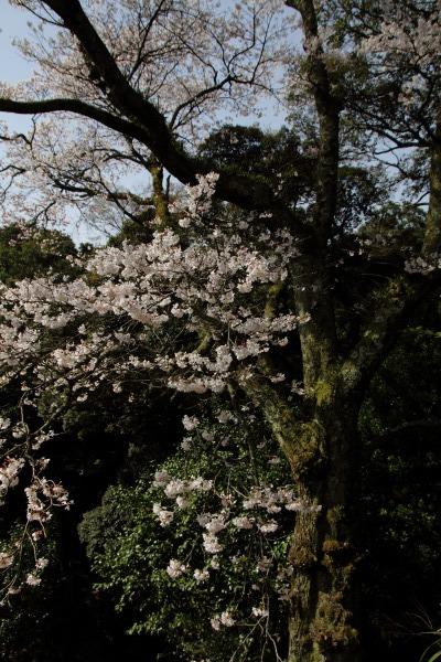 雨滝桜 140407 06