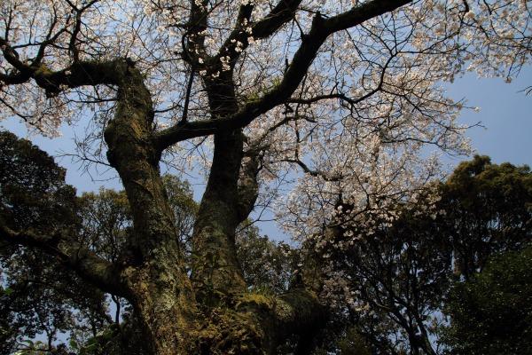 雨滝桜 140407 07