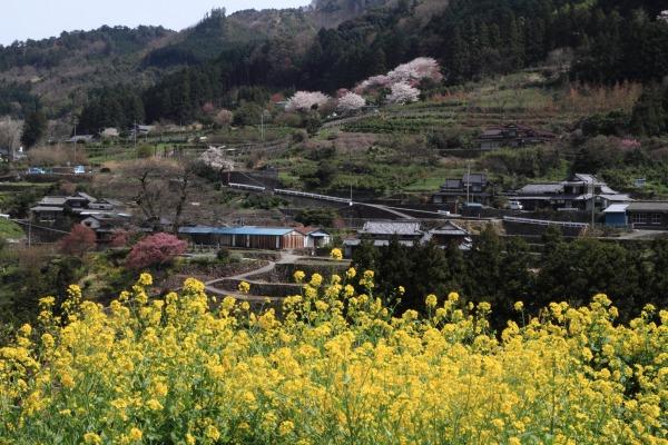 河之内日浦地区桜 140407 01