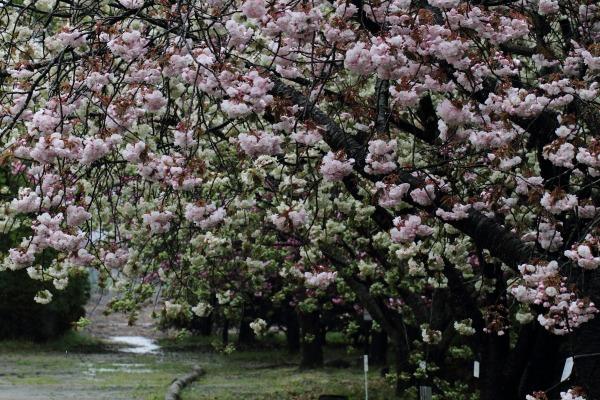 森の交流センター 八重桜 140413 02