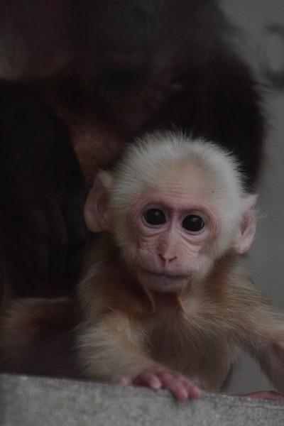 TobeZoo ベニガオザル・赤ちゃん 140320 004
