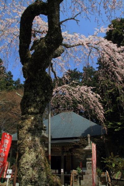 高縄寺・枝垂桜 140419 05