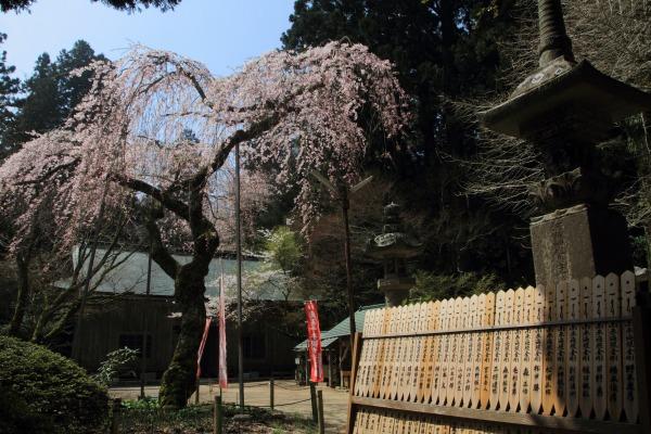 高縄寺・枝垂桜 140419 04
