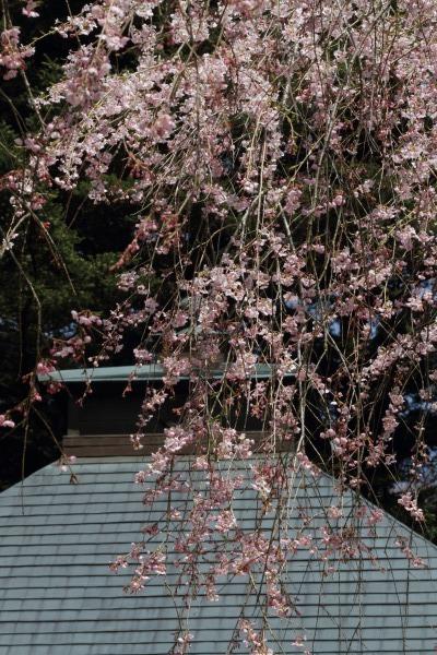 高縄寺・枝垂桜 140419 08