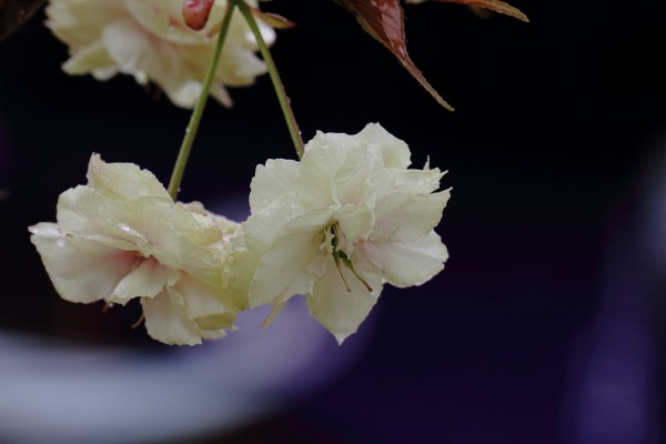 浄土寺・鬱金 140420 03