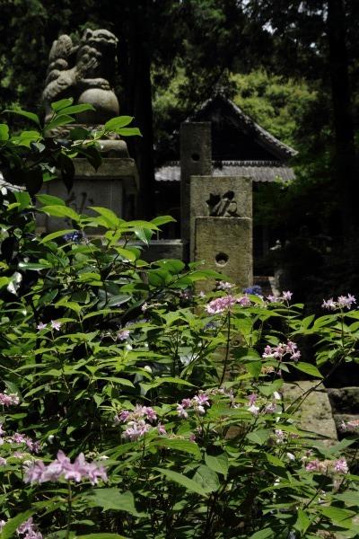 惣河内神社 山紫陽花 140608 02