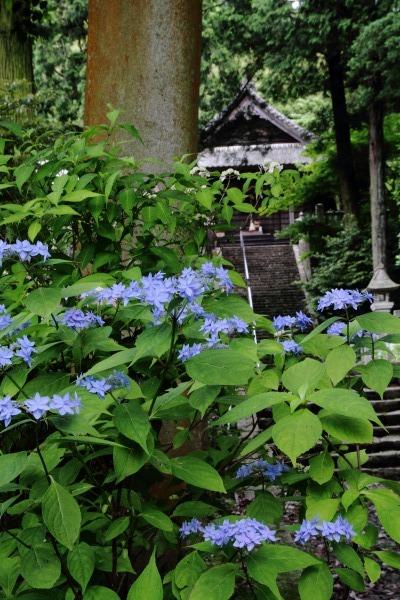 惣河内神社 山紫陽花 140608 03